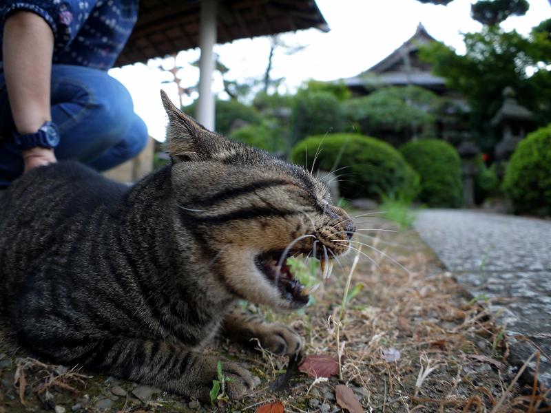縁石上でアクビするキジトラ猫3