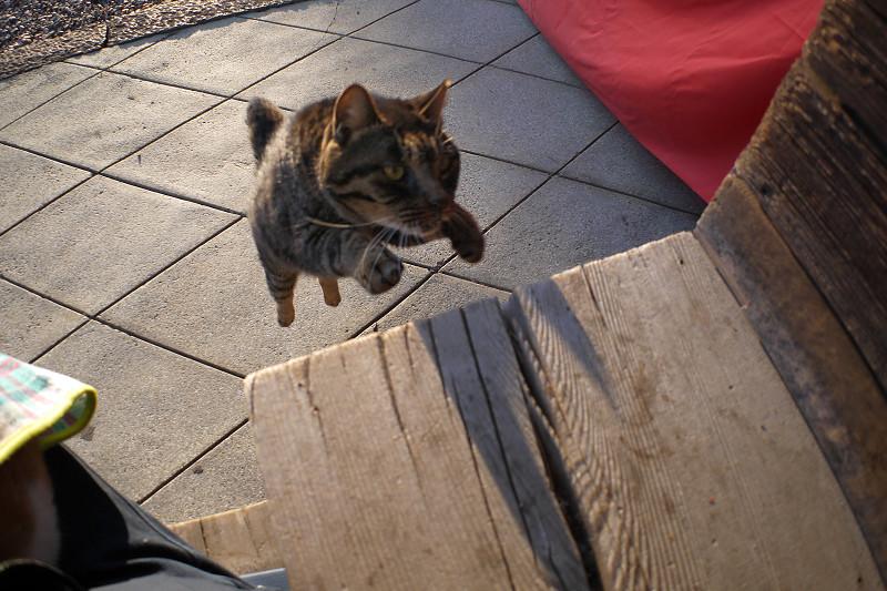 階段に飛び乗るキジトラ猫3