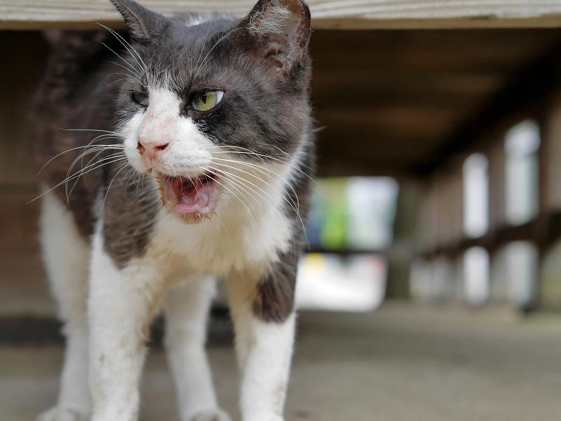 縁の下で鳴く黒白猫3