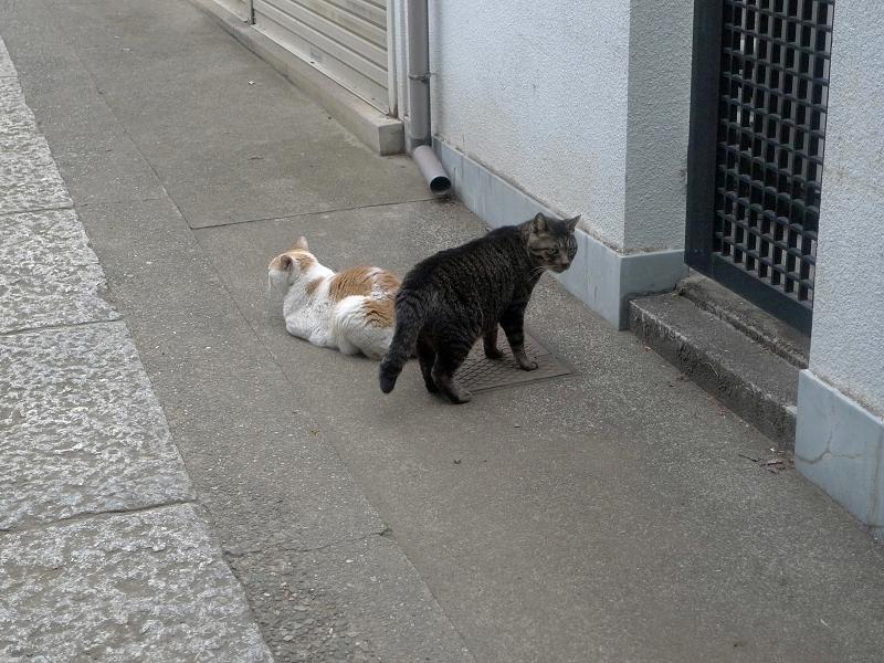 ボディガードするキジトラ猫2