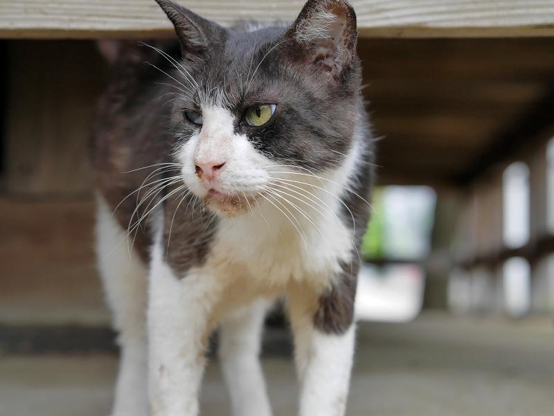 縁の下で鳴く黒白猫4