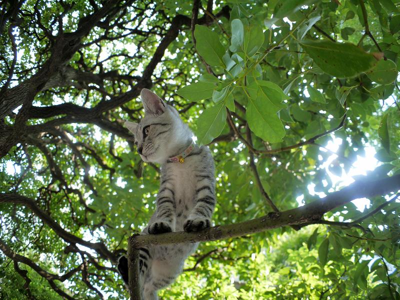 クスノキの散歩を満喫するサバトラ仔猫1