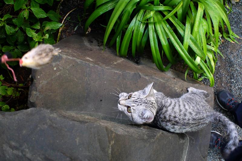 石碑でネズミに興奮するサバトラ仔猫1