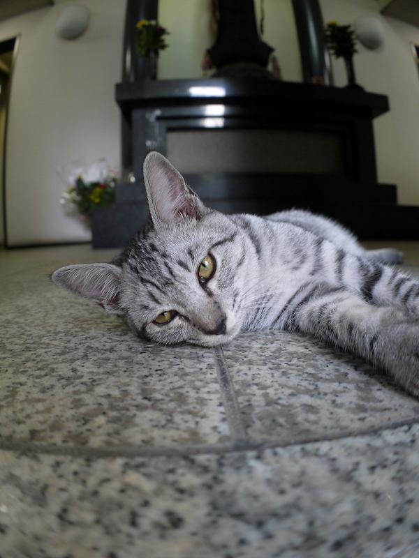 お堂でマッタリしているサバトラ仔猫1