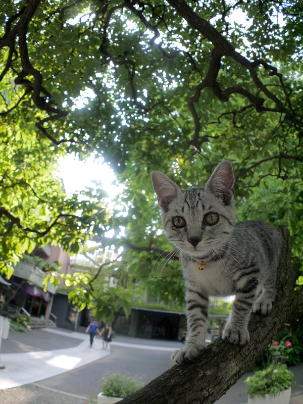 クスノキの散歩を満喫するサバトラ仔猫2