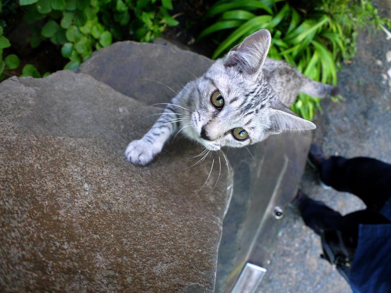 石碑でネズミに興奮するサバトラ仔猫2