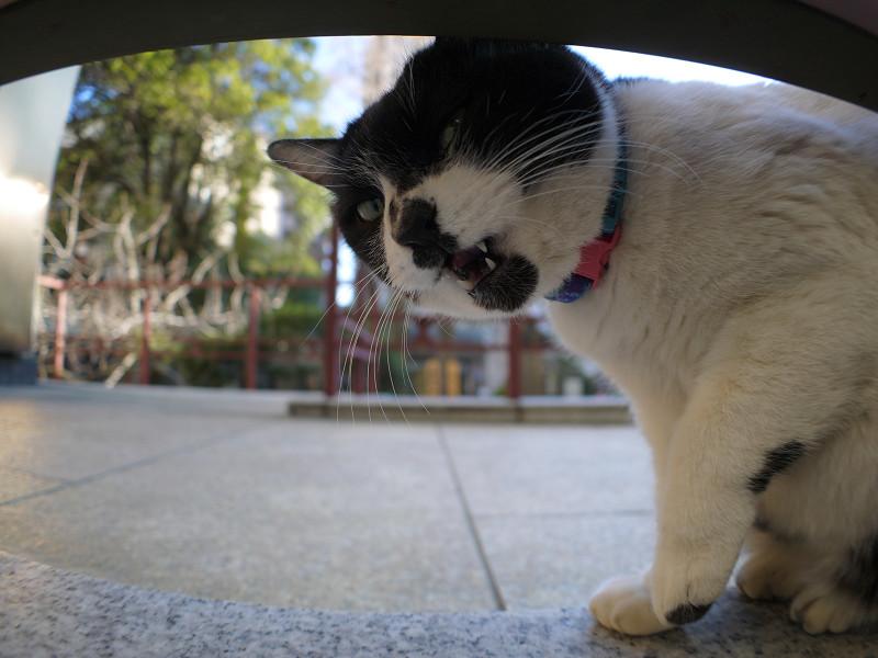 横向きでベロを出す白黒猫2