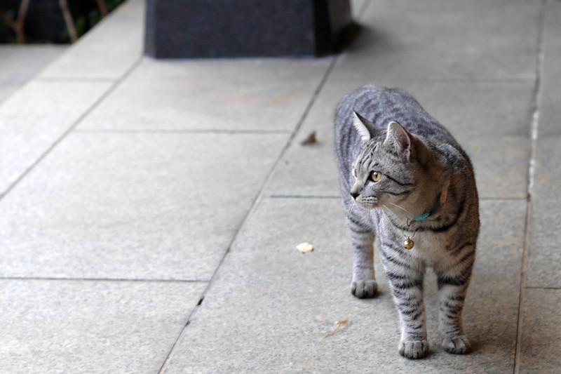 お堂前のサバトラ猫2