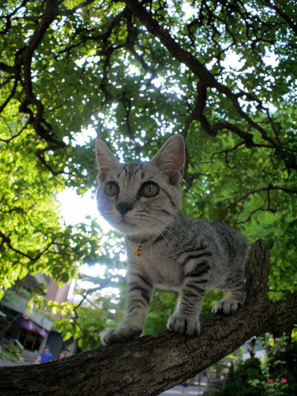 クスノキの散歩を満喫するサバトラ仔猫3