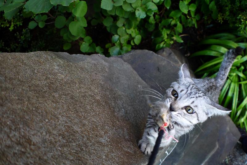 石碑でネズミに興奮するサバトラ仔猫3