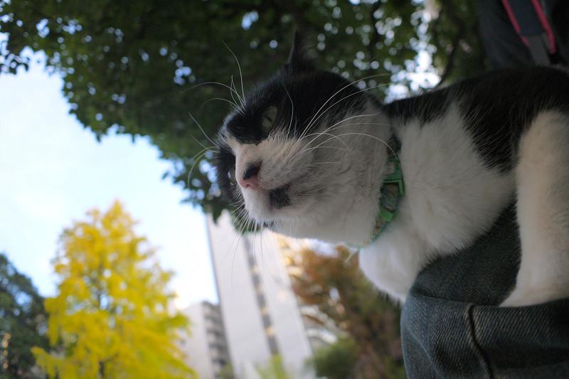 膝に乗っている黒白猫3