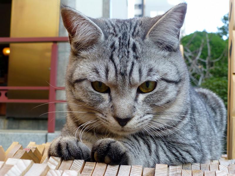 卒塔婆の上のサバトラ猫3
