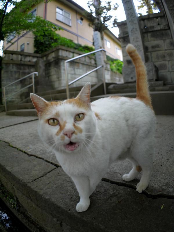 何度も鳴いている白茶猫1