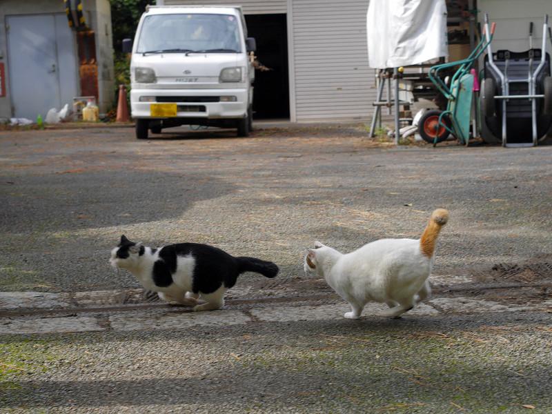 黒白猫を追っかける白キジ猫1