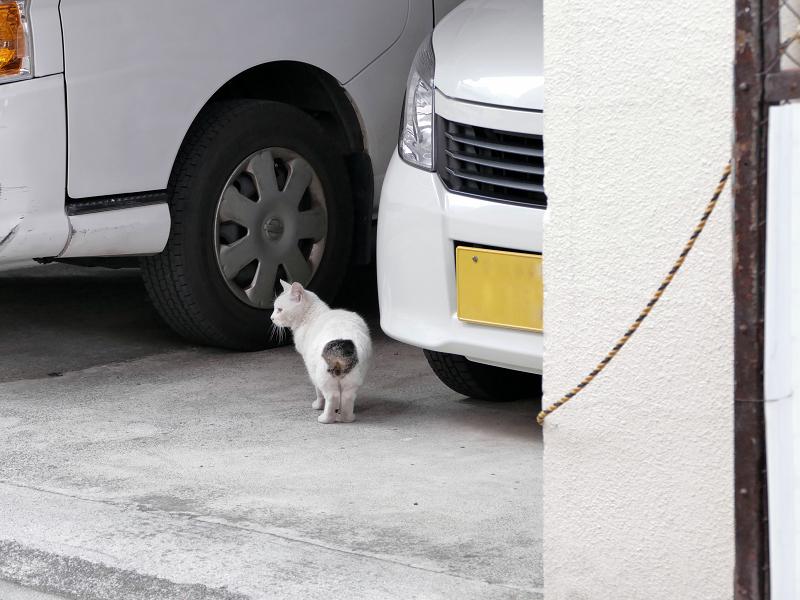 車の向こうに消える白キジ猫1
