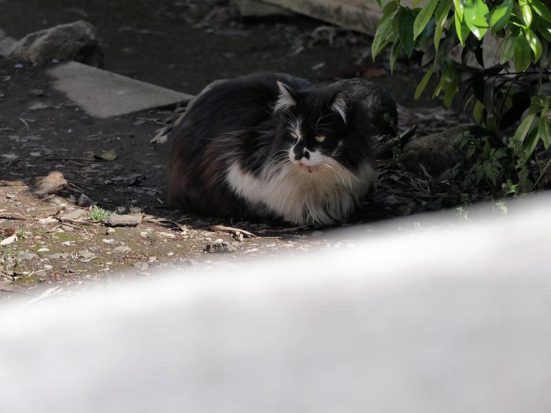 柵の中の毛が長い黒白猫1