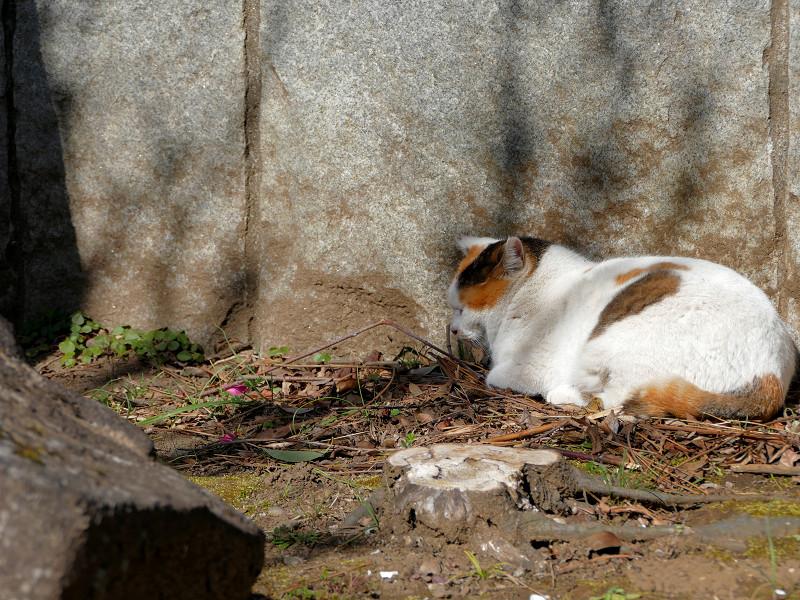 岩壁の横で寝ている三毛猫1