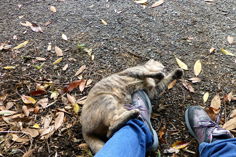 足とスニーカーにくっついてるサビキジ猫1