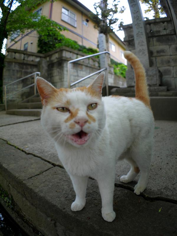 何度も鳴いている白茶猫2