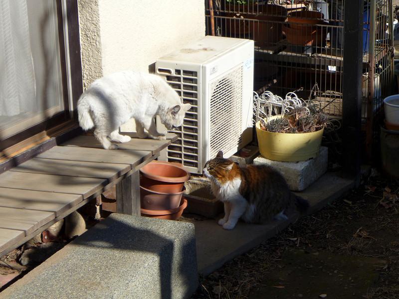 民家の庭で睨み合う猫たち2