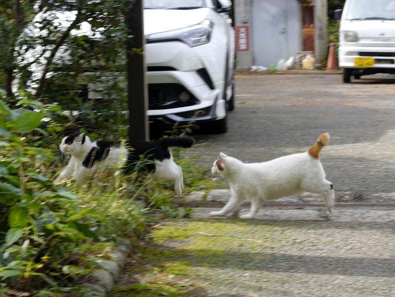 黒白猫を追っかける白キジ猫2