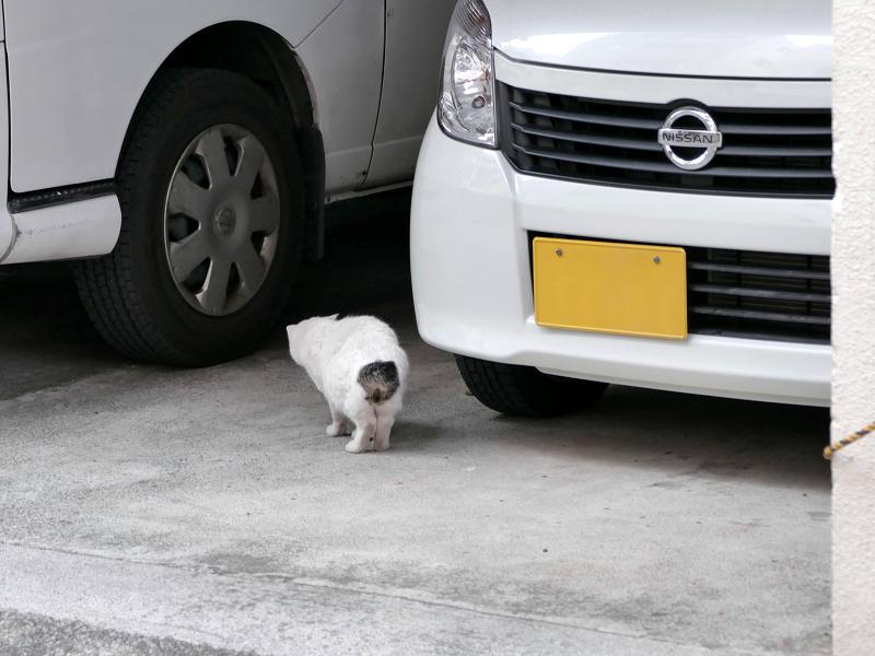 車の向こうに消える白キジ猫2