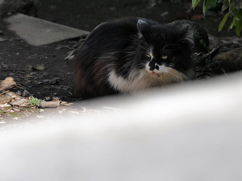 柵の中の毛が長い黒白猫2