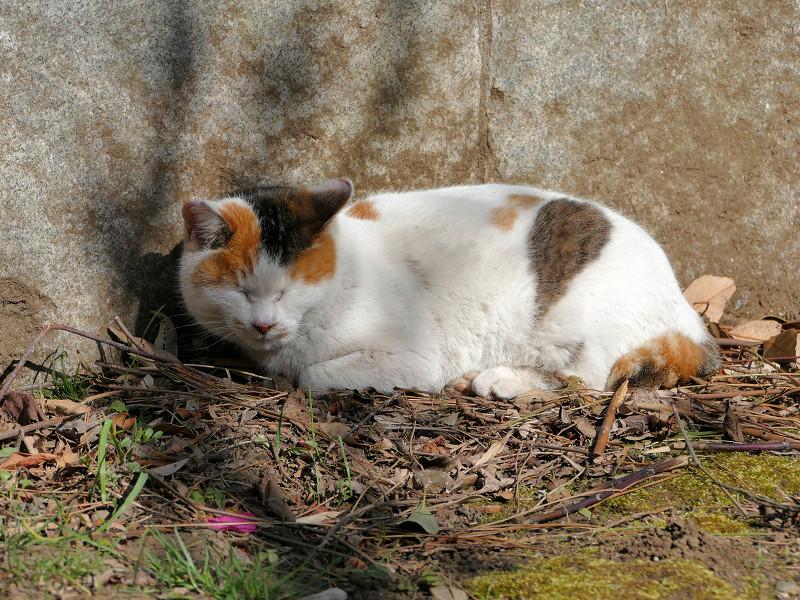 岩壁の横で寝ている三毛猫2