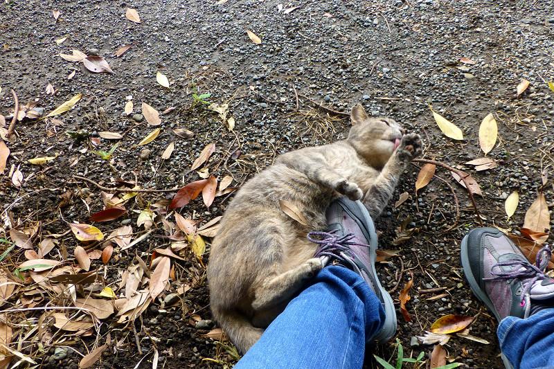 足とスニーカーにくっついてるサビキジ猫2