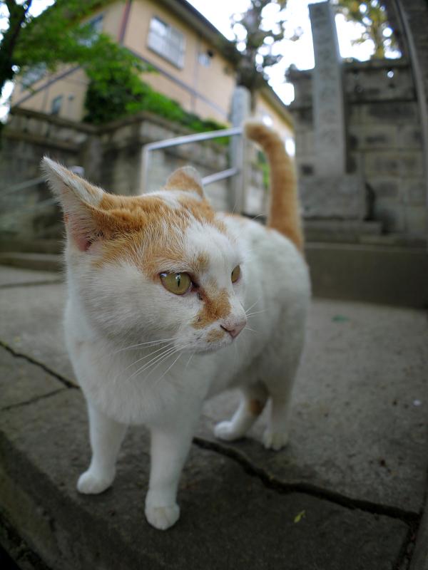 何度も鳴いている白茶猫3