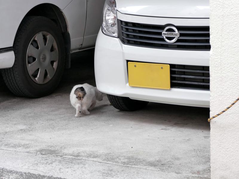 車の向こうに消える白キジ猫3