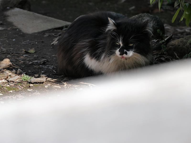 柵の中の毛が長い黒白猫3
