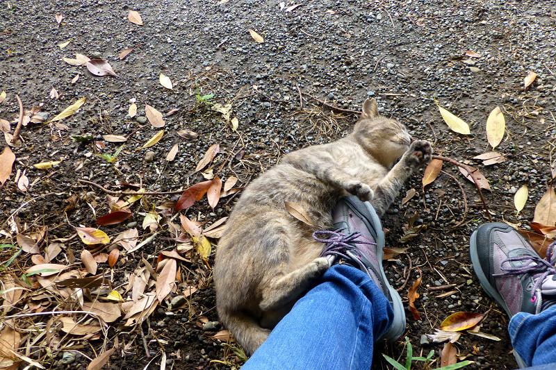 足とスニーカーにくっついてるサビキジ猫3