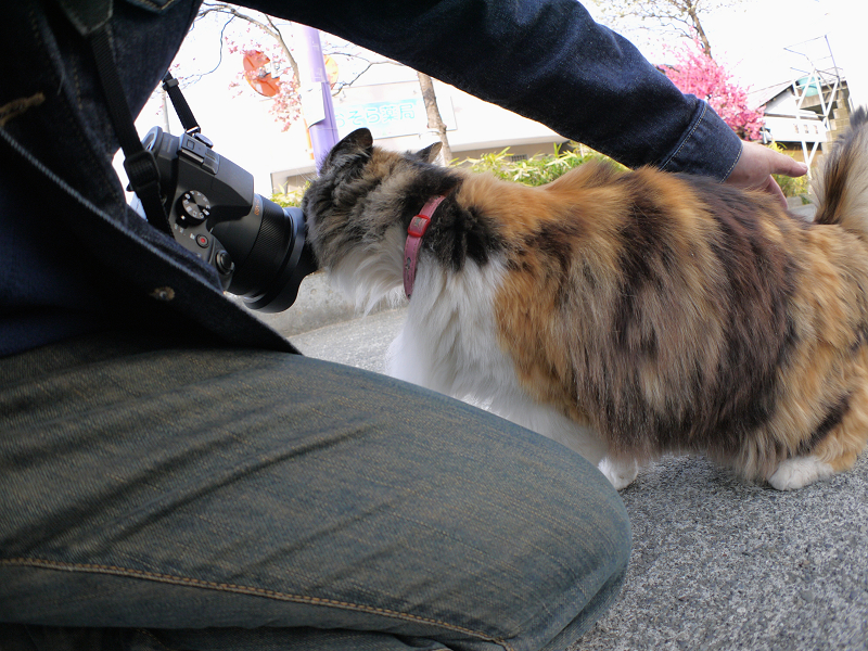 カメラに体を擦り付ける毛が長い三毛猫1