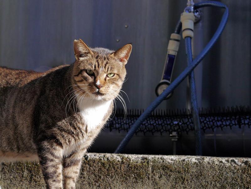 やって来たキジトラ猫1