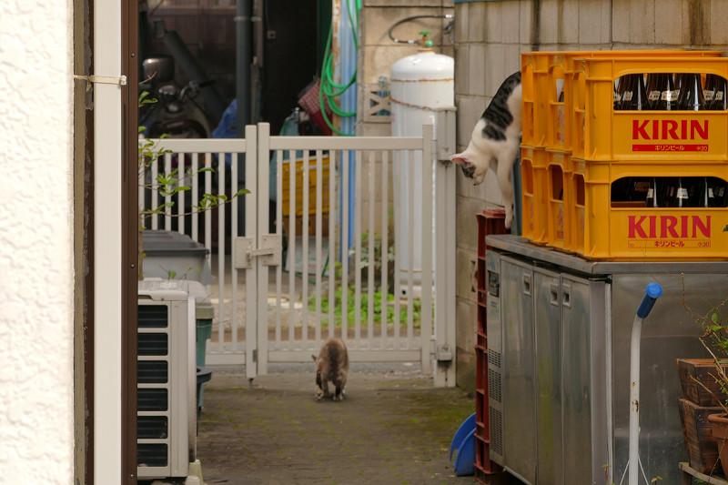 塀から降りた親猫たち1
