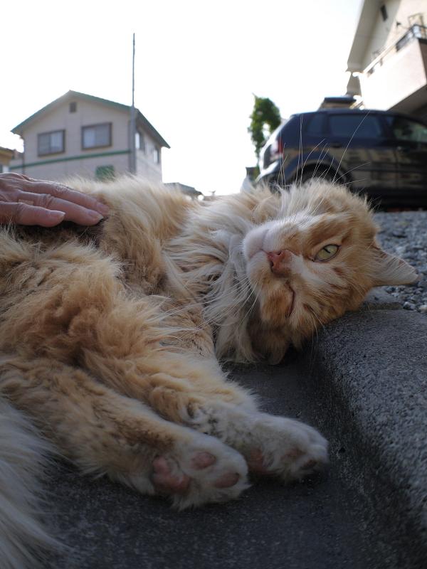 縁石と毛長の茶白猫のローアングル2