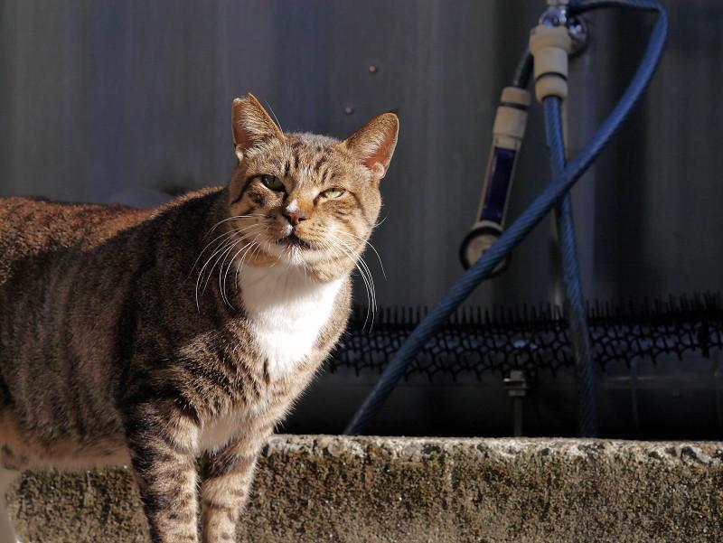 やって来たキジトラ猫2