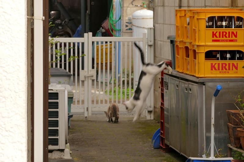 塀から降りた親猫たち2