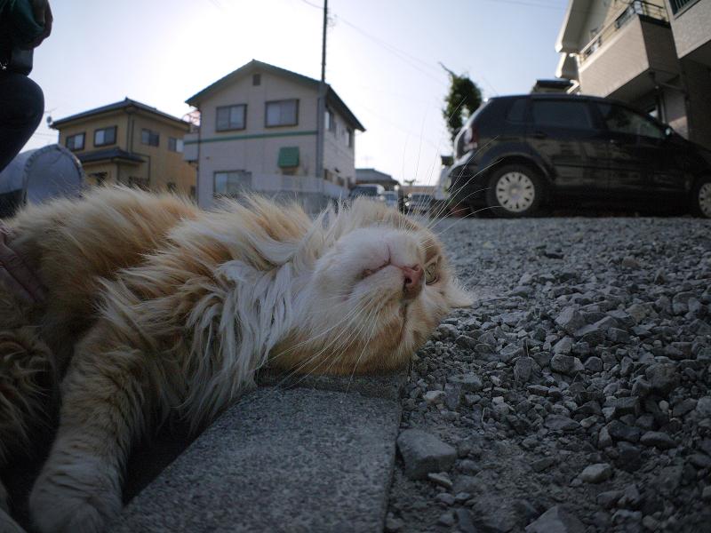 縁石と毛長の茶白猫のローアングル3