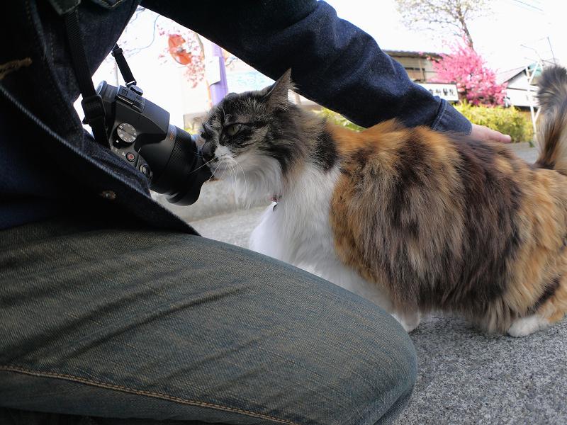 カメラに体を擦り付ける毛が長い三毛猫3