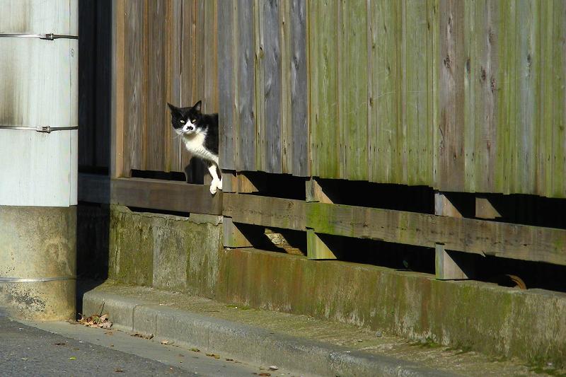路地の黒白猫1