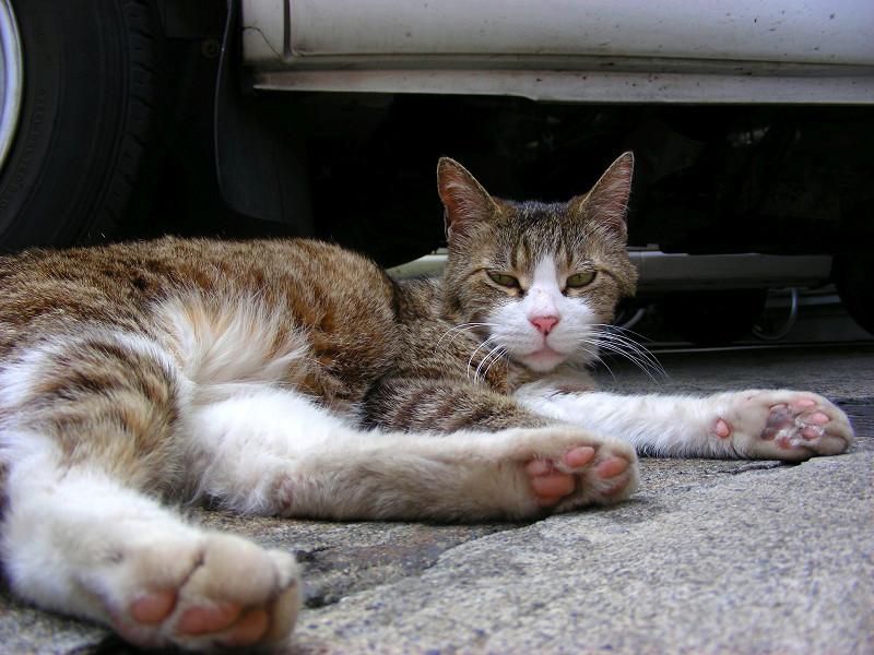 車の下のキジ白猫1
