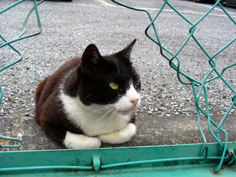 金網越しの黒白猫1