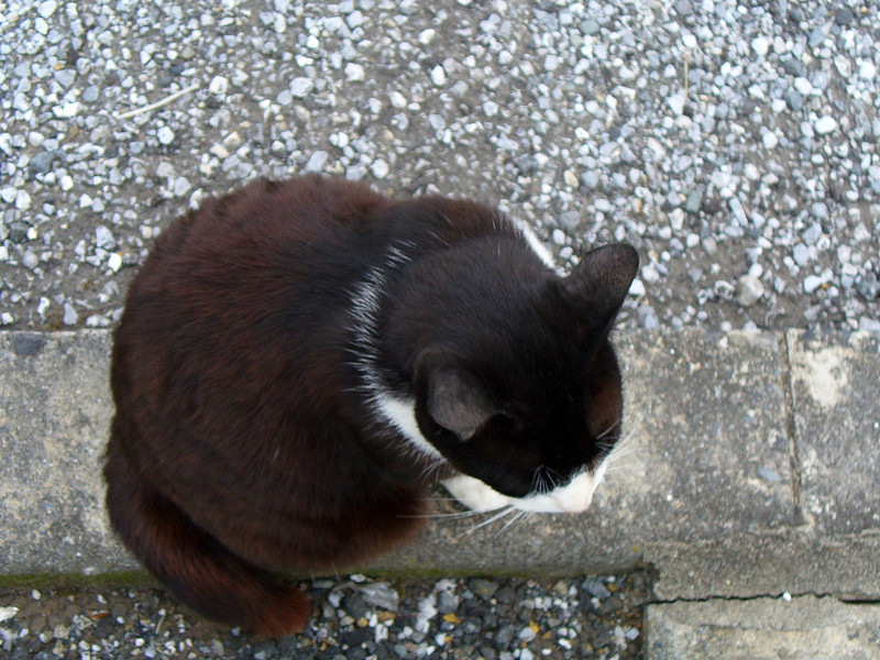 上を向く黒白猫1