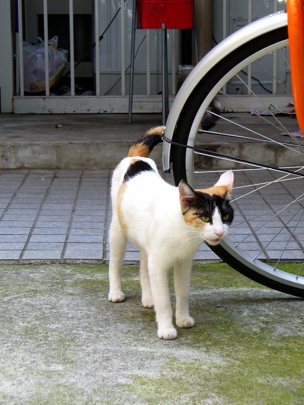 ソロリと近づいた三毛猫2