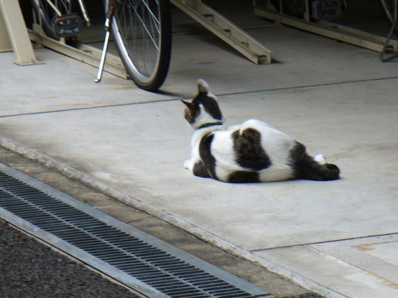 白キジ猫駐輪場で2