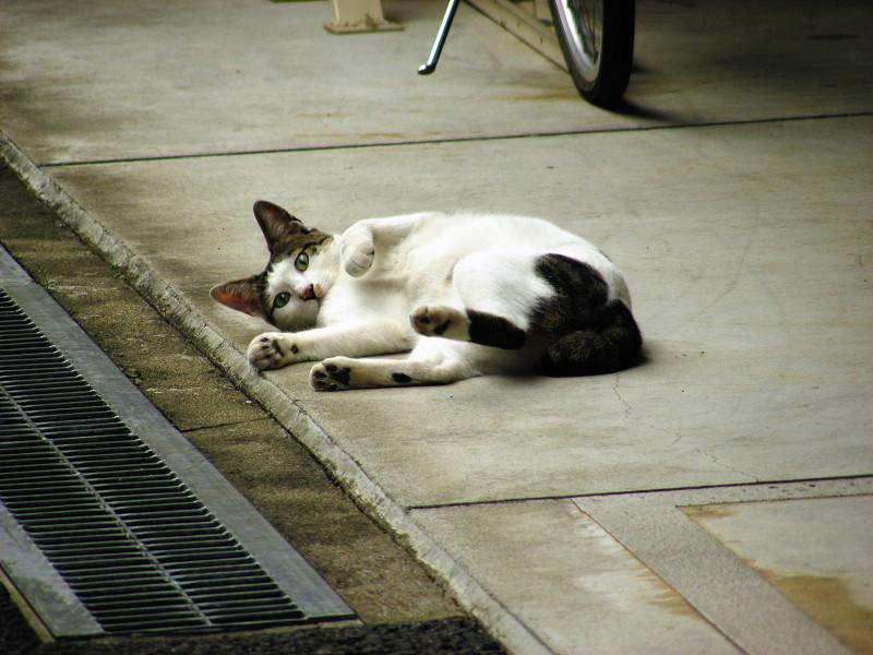 白キジ猫駐輪場で3