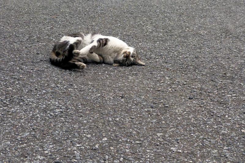 転がってるキジ白猫1