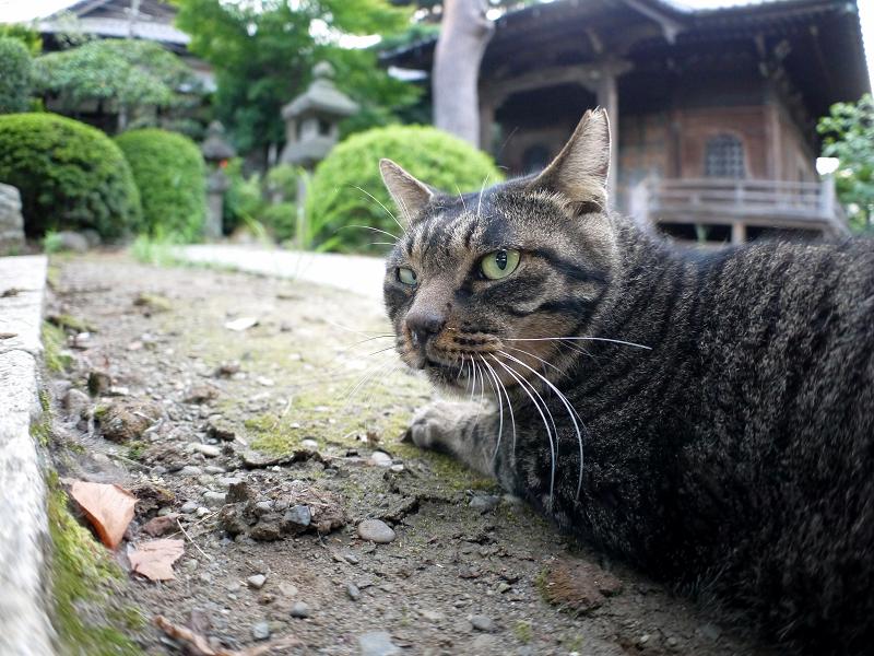 境内で腹ばうキジトラ猫1